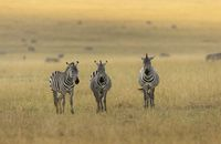 Three plains zebra, E. quagga, Maasai Mara National Reserve, Kenya, Africa