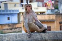 Life of Indian monkeys.