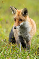 Vertical composition of focused red fox taking a careful step during hunt