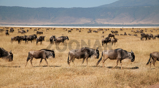 Gnus im Mgorongoro Krater in Tansania