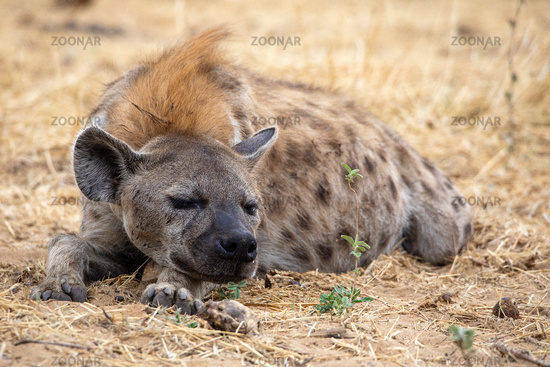 Hyena at Etosha National Park, Namibia