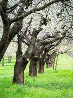 Cherry tree grove in full bloom in Spring