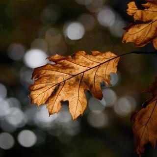 vertrocknetes Eichenblatt an einem Baum im Herbst