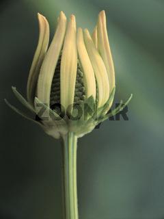 Sonnenhut (rudbeckia nitida) in Pastelltönen
