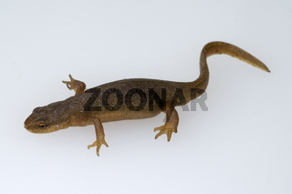 Bergmolch; Ichthyosaura; alpestris; weiblich; Landfaerbung
