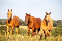Three brown horse standing on top of a lush green field