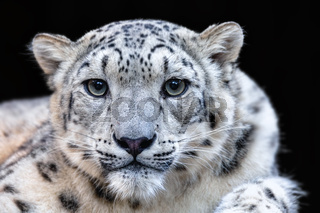 snow leopard, Irbis Uncia uncia