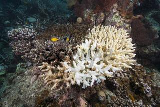 Korallenbleiche, Papua Neuguinea