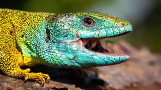 Green lizard with a happy look opening mouth on a close-up shot