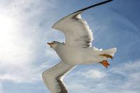 Fliegende Silbermöwe  flying gull  (Larus argentatus)