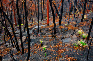 Grass trees in a burnt landscape