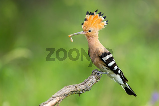 Eurasian hoopoe sitting on a branch with white larva in beak on green background