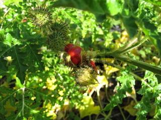 Litchi-Tomate, Raukenblättrige Nachtschatten mit roten Früchten, Solanum sisymbriifolium