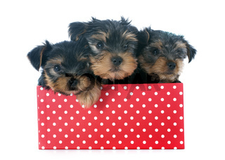puppies yorkshire terrier