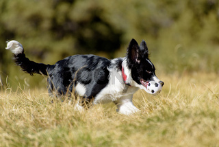 Cute black and white Border Collie puppy In the mountain on Andorra.