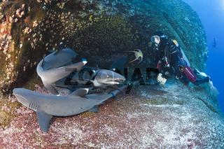 Weissspitzen-Riffhaie ruhen in Felsspalte, Mexiko