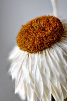 White Everlasting or paper daisy, Asteraceae