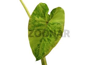 Blatt einer 'Colocasia Midori Sour' Plfanze