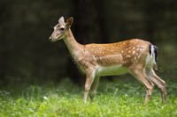 Fallow deer hind standing on meadow in summer nature.