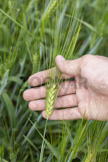 Green barley ear with long awn in male hand. A farmer enjoys barley harvest. Raw materials for brewing.