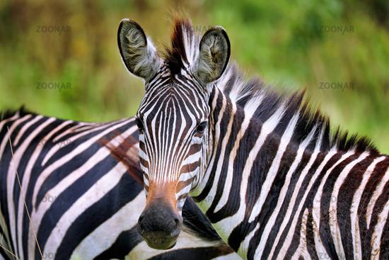 Zebras im Lake Mburo Nationalpark in Uganda (Equus quagga) | Zebras at Lake Mburo National Park in Uganda (Equus quagga)