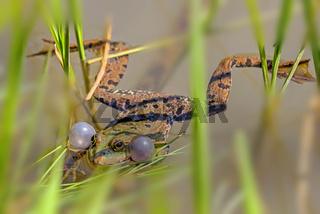 Wasserfrosch männlich  'Pelophylax lessonae; (Rana lessonae)