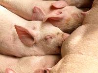 Nursing piglets