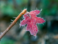 Red frosted leaf with ice cristals