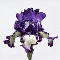 Nahaufnahme der Blüte einer Lilie, Lillium