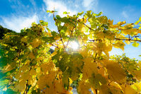 wine leaves in opposite light
