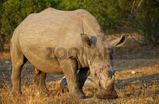 Breitmaulnashorn im Sonnenlicht im Kruger Nationalpark, Südafrika, Breitlippennashorn, white rhinoceros in the sun, Ceratotherium simum