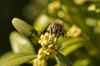 Gewöhnlicher Buchsbaum (Buxus sempervirens)