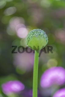 ZierlauchKnospe (Allium sp.) vor bunten Blumenbeet