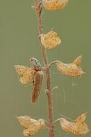 Brauner Schnellkaefer (Athous subfuscus)