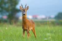 Roe deer standing on glade near civilization in summer