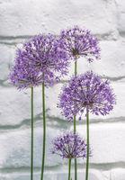 Zierlauch (Allium sp.) vor weißer Hauswand