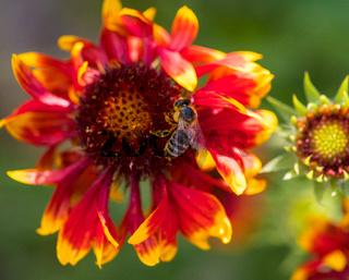 Nahaufnahme einer Kokardenblume mit Biene und unscharfen Blüten im Hintergrund