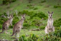 Kangaroos in Australian bushland