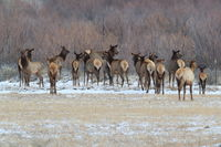 Wapiti  in Bosque del Apache National Wildlife Refuge, New Mexico USA