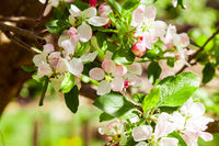 Close view branch of apple tree full in blossom