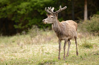 Red deer with velvet antlers standing on glade in spring nature