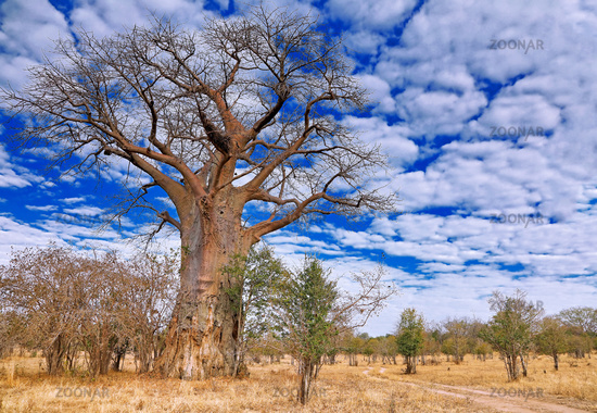 Affenbrotbaum, South Luangwa NP, Sambia, (Adansonia digitata)   monkey-bread tree, South Luangwa NP, Zambia, (Adansonia digitata)