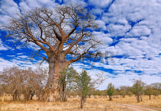 Affenbrotbaum, South Luangwa NP, Sambia, (Adansonia digitata) | monkey-bread tree, South Luangwa NP, Zambia, (Adansonia digitata)