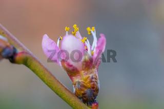 Fresh fruit blossom bud in the spring season