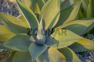 Drachenbaum-Agave (Agave attenuata)
