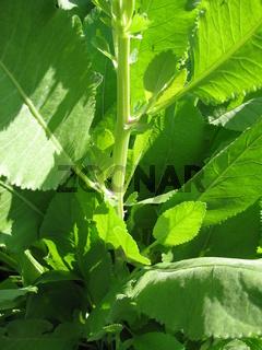 Frische Blätter vom Balsamkraut in einem Garten