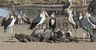 marabou stork and Ruppells Griffon Vulture near the dead wildebeest on the bank of the river in the savannah