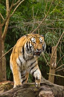 Sibirischer Tiger (anthera tigris altaica)
