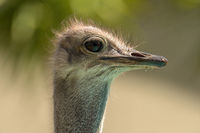 Close up of a Beautiful Common Ostrich Head, Namibia