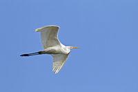 Silberreiher Altvogel im Flug / Ardea alba